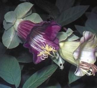 Cup and Saucer vine Cobea scandens