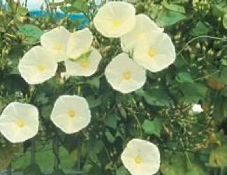 Moon Flower Ipomea alba