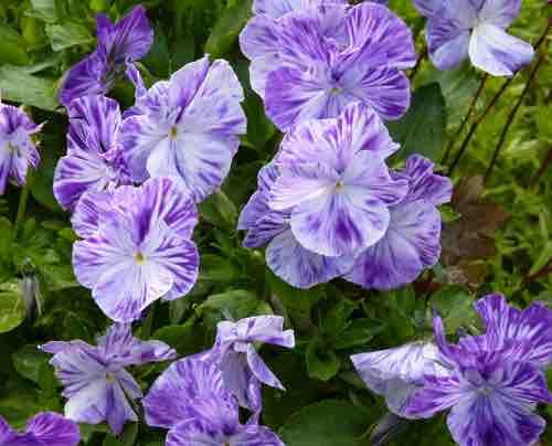 Viola Pansies And Violet Portland Nursery