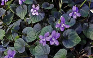 Viola pansies and violet portland nursery for Purple flower ground cover perennial