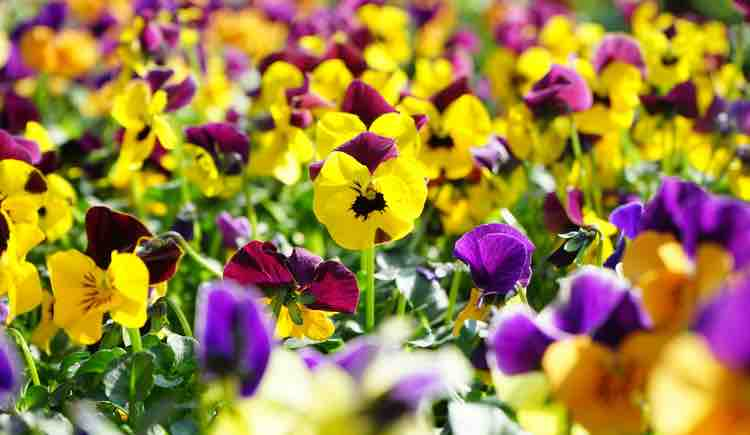 Pansy 'Frizzle Sizzle Mix'