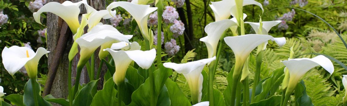 Zantedeschia Calla Lily Portland Nursery
